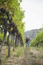 Worker raking working in vineyard among grape vines - HEROF03970