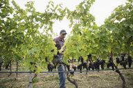 Worker checking red grape vines working in vineyard - HEROF03976