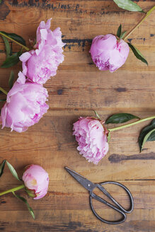 Pink peonies and scissors on wood - GWF05765