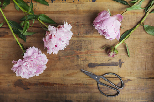 Pink peonies and scissors on wood - GWF05768