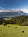 Austria, Salzburg State, Tennengau, view from Krispl to Hallein and Untersberg, cattle - WWF04674