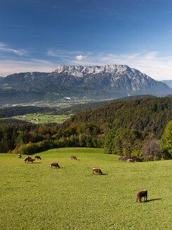 Austria, Salzburg State, Tennengau, view from Krispl to Hallein and Untersberg, cattle - WWF04674