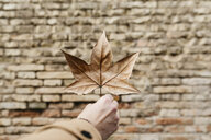 Close-up of man's hand holding autumn leaf with brick wall in background - JRFF02306
