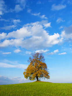 Austria, Flachgau, Linden tree on autumnal meadow - WWF04678