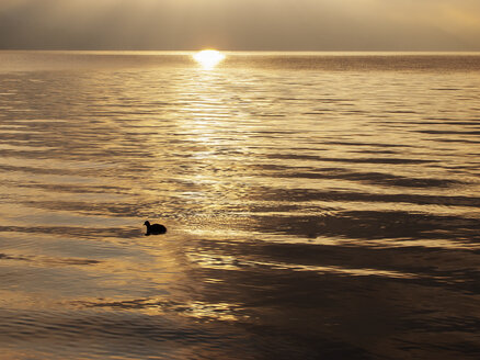 Austria, Salzkammergut, Mondsee, sunrise in autumn with coot on lake - WWF04687
