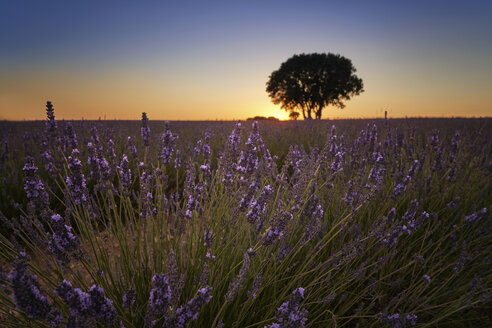 France, Provence, Lavender fields at sunset - EPF00522