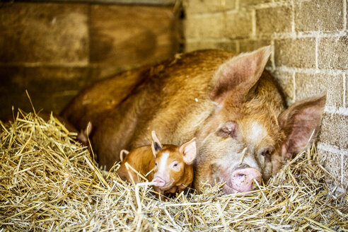 Close up of brown Tamworth sow and piglet lying on straw in barn. - MINF09826