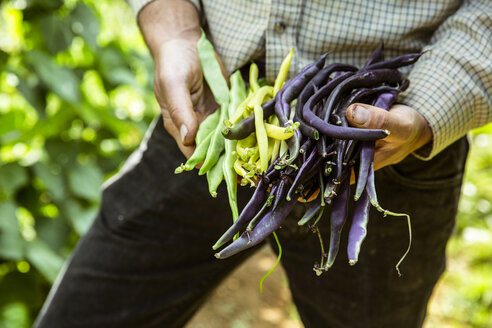 Close up of farmer holding a bunch of green, yellow and purple beans. - MINF09847
