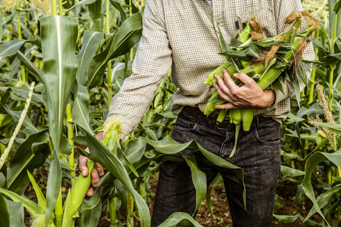 Farmer standing in a corn field, harvesting maize cobs. - MINF09853