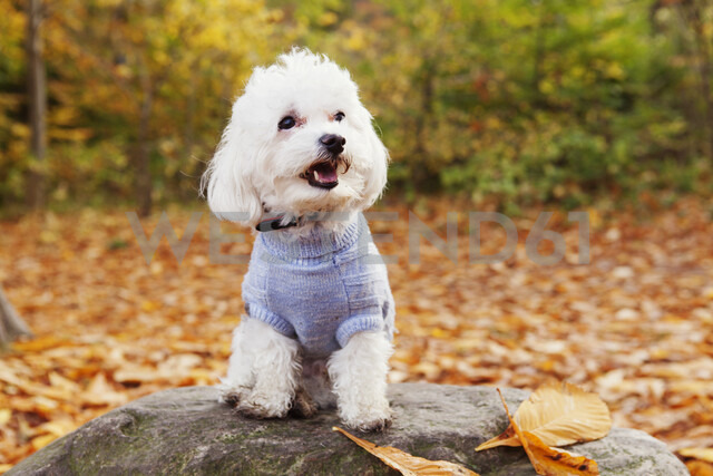 Close-up of Bichon Frise on rock in forest - ASTF01343 - Astrakan Images/Westend61