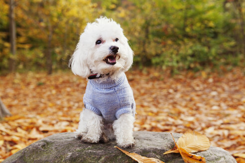 Close-up of Bichon Frise on rock in forest - ASTF01343