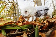 Dog smelling leaves in forest during autumn - ASTF01346