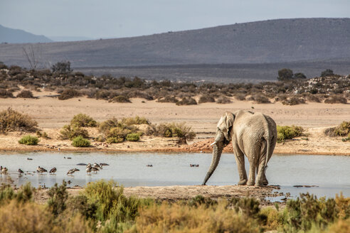 African elephant (Loxodonta) drinking in river, Touws River, Western Cape, South Africa - CUF46865