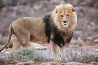 Lion (Panthera leo), Touws River, Western Cape, South Africa - CUF46868
