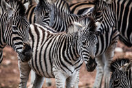 Herd of Zebra (Equus quagga), Touws River, Western Cape, South Africa - CUF46871
