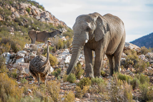 African elephant (Loxodonta) and Ostrich (Struthio camelus), Touws River, Western Cape, South Africa - CUF46880