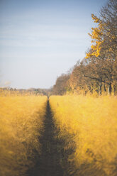 Asparagus field in autumn - ASCF00943