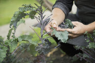 Farm-to-table chef harvesting kale with scissors in vegetable garden - HEROF04895
