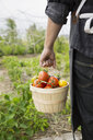 Farm-to-table chef carrying bushel of fresh harvested tomatoes in vegetable garden - HEROF04898