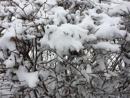 Snow on tree - JTF01161