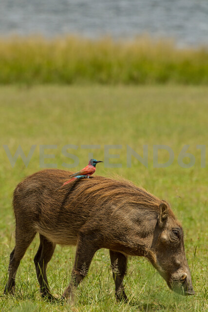 Warthog with Northern Carmine Bee-eater on its back, Murchison Falls National Park, Uganda - CUF47641