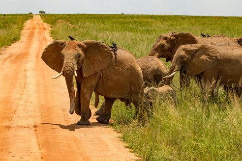 Elephants (Loxodonta africana) crossing dirt track, Murchison Falls National Park, Uganda - CUF47650