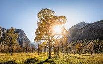 Sunlight through ancient maple trees, Karwendel region, Hinterriss, Tirol, Austria - CUF48311