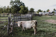 White cow in enclosure - ISF20236