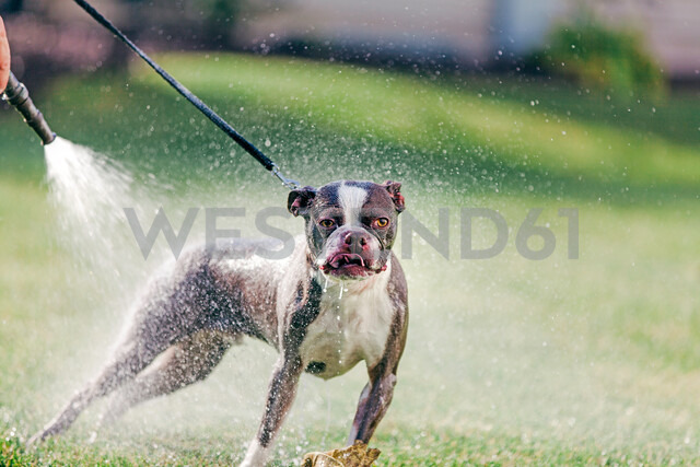 Pet dog being washed in garden - ISF20251