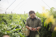 Man picking and inspecting tomatoes in greenhouse - HEROF05524