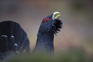 Scotland, Caledonian Forest, mating Western capercaillie - MJOF01646
