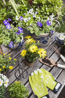 Gardening, planting of summer flowers in vintage pots and historic irons, gardening tools, secateurs and garden gloves on vintage garden table, Petunia