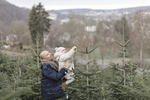 Arnsberg, NRW, Deutschland. Ein Vater mit der Tochter schmücken einen Weihnachtsbaum auf der Weihnachtsbaum-Plantage - KMKF00728