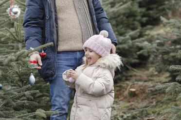 Arnsberg, NRW, Deutschland. Ein Vater mit der Tochter schmücken einen Weihnachtsbaum auf der Weihnachtsbaum-Plantage - KMKF00734