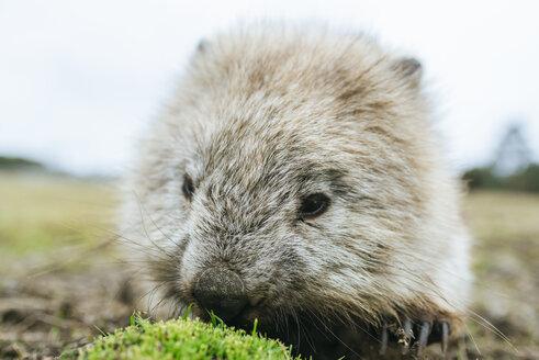 Australia, Tasmania, portrait of eating wombat - KIJF02182