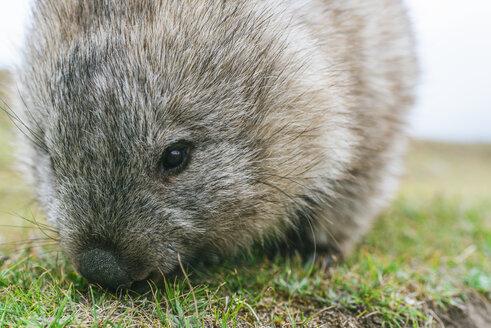 Australia, Tasmania, Maria Island, portrait of eating wombat - KIJF02185