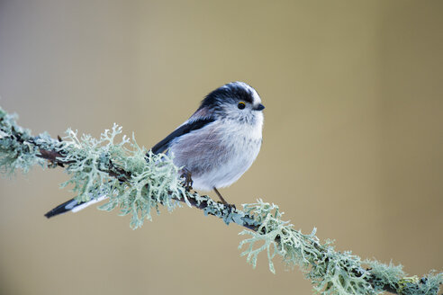 Long-tailed Tit on twig - MJOF01652