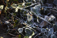 Frost-covered ivy at sunlight - JTF01166
