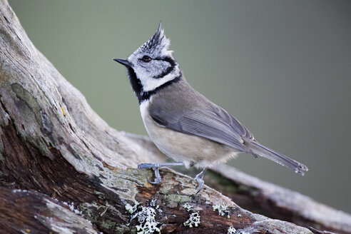 Crested tit on branch - MJOF01654