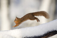 Jumping Eurasian red squirrel with nut in winter - MJOF01657
