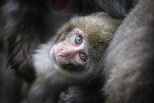 Portrait of young Japanese macaque - MJOF01660