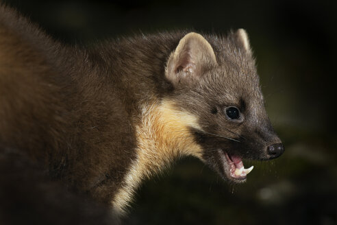 Portrait of screaming Pine marten - MJOF01663