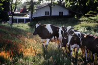 Cows on grassy field - ASTF02780
