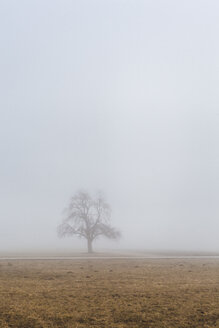 Slovenia, Begunje na Gorenjskem, rural area, lonely tree and fog in a winter day - FLMF00107