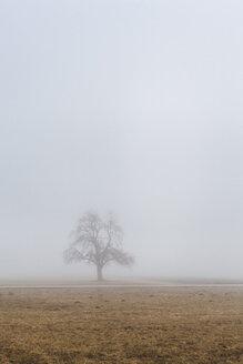 Slovenia, Begunje Na Gorenjskem, rural area, lonely tree under the fog in a winter day - FLMF00107
