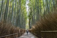 Bamboo Forest, the Arashiyama Bamboo Grove or Sagano Bamboo Forest, a natural forest of bamboo in Arashiyama, Kyoto, Japan. - MINF10086
