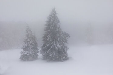 France, Alsace, Nature reserve Frankenthal-Missheimle, snow-covered firs at fog - SGF02222
