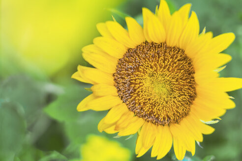 Deutschland, Bayern, Starnberg, Sonnenblume blüht im Feld, Frühling, Sommer, Umweltschutz - MMAF00793