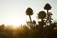 Close up of globe artichokes in garden at sunrise. - MINF10337