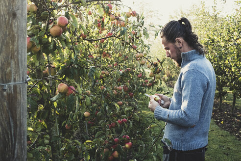 Man standing in apple orchard, picking apples from tree. Apple harvest in autumn. - MINF10340